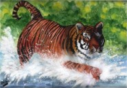 Siberian tiger splashing through a river